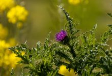 Photo of Does Milk Thistle Help Reverse Fatty Liver?