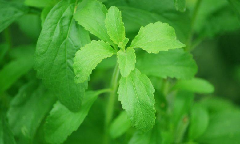 stevia for fatty liver